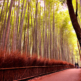 Along the Bamboo Groves by Miki Constantine - Landscapes Forests