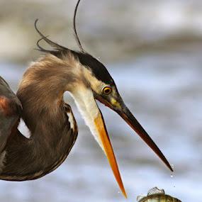 The little fish by Mircea Costina - Animals Birds ( bird, wild, ardea, great, fish, little, wildlife, grey, herodias, heron )