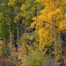 Fall Colors by Chad Roberts - Nature Up Close Trees & Bushes ( idaho, teton valley, fall colors, autumn, fall, trees, aspen )