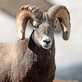 Rocky Mountain Big Horn  by Cody Hoagland - Animals Other Mammals ( colorado, sheep )