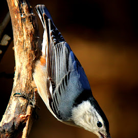 White Breasted Nuthatch by Paul Mays - Animals Birds
