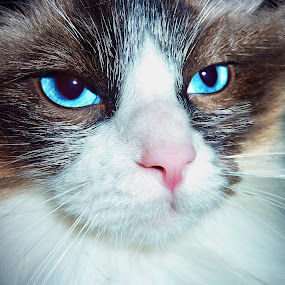 Blue Eyes by Tiahn Anneliese - Animals - Cats Portraits