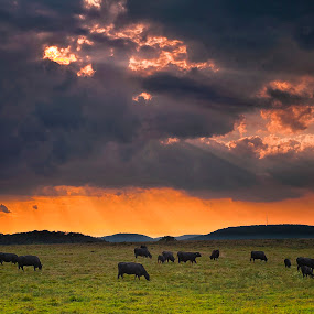 by Fran Gallogly - Landscapes Prairies, Meadows & Fields ( sunset-sunrise, cows )