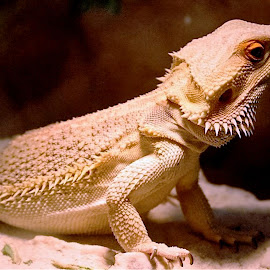 Get My Best Side by Roxanne Dean - Animals Reptiles ( lizard, aquarium, reptile, posing, orange eyes )