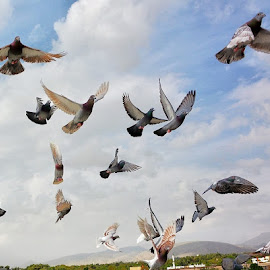 Pigeon by Mohammad Hadi - Animals Birds ( bird, pice, sky, nature, fly )