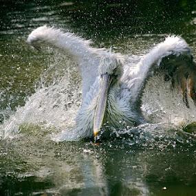 The Pelican Dance by Alit  Apriyana - Animals Birds