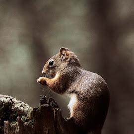 ... by Daniel Gaudin - Animals Other Mammals ( nature, wildlife, mammal, squirrel, animal )