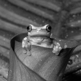Frog by Garry Chisholm - Black & White Animals ( hourglass frog, nature, canon.sigma, amphibian, macro workshop, garry chisholm )