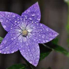 kikyo by Megarianti Megarianti - Nature Up Close Flowers - 2011-2013