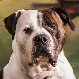 dOG by Paul Drajem - Animals - Dogs Portraits ( canine, bulldog, american, pet, dog, friend, animal )