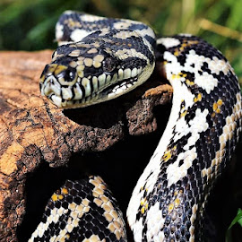 by Roz Elliott - Animals Reptiles ( snake, pet, friendly, outside, large )