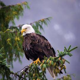 Bald Eagle by Cliffie Scott-Williams - Animals Birds