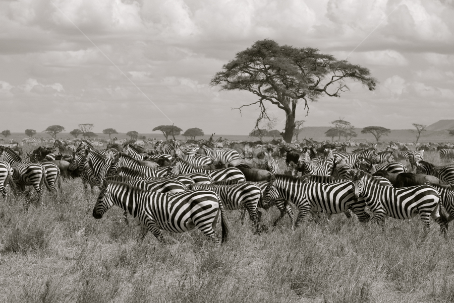 The Great Migration by Anisha Rajani - Novices Only Wildlife ( migration, black and white, serengeti, herd, great migration, black and white collection, migration wildebeest zebra serengeti great spectacle africa safari amazing tanzania herds, zebra, africa, tanzania, spectacle )