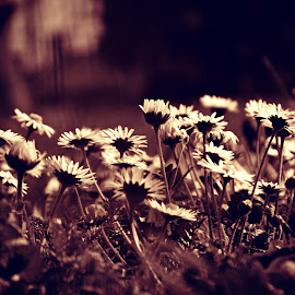 sjaj u tami by Dragan Dvorski - Novices Only Macro ( sepia, macro, nature, grass, flower )