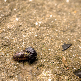 Armadillidiidae by Gabrielle Smooth - Animals Insects & Spiders ( pill bug, armadillidiidae, doodle bug, roly poly,  )