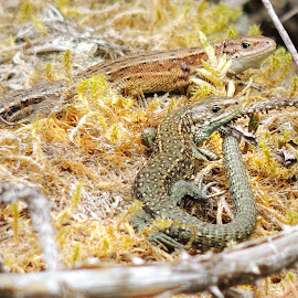 Common lizard by Martin Scaife - Animals Reptiles ( common lizard, warming, log pile, reptile )
