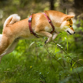 I´ll get that mouse! by Astrid Kallerud - Animals - Dogs Running ( forest, jumping, shiba, dogs, dog )