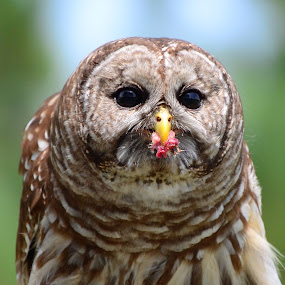 Dinner by Patricia Warren - Animals Birds ( bird, predator, bird of prey, nature, barred owl, owl, wildlife, raptor,  )