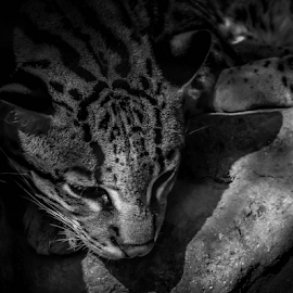 Afternoon Nap by Elaine Malott - Animals Lions, Tigers & Big Cats ( cats, big cats, animals, endangered species, nature, ocelot, wildlife, endangered, felines )
