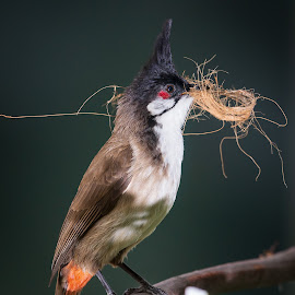 Red Whiskered Bulbul by Alick McWhirter - Animals Birds ( crested, red whiskered bulbul, nest, building, red, orange, pycnonotus jocosus, frugivore, passerine, whiskered, bird, perch, bulbul )