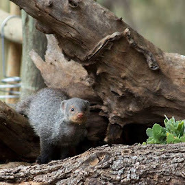 Banded Mongoose by Lydia Schoeman - Animals Other