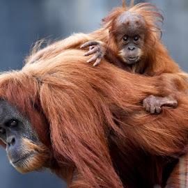 Baby Orangutan & mum by Mark Blackledge - Animals Other ( zoo, orangutan, wildlife, baby, cute, animal )