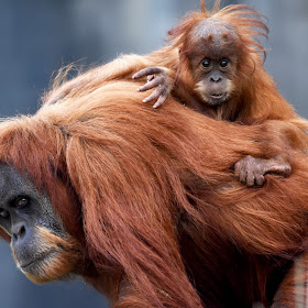 baby oranguatan on mums back giving serious look at camera.jpg
