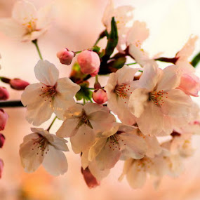 last sakura... by Awai Bucchi - Nature Up Close Flowers - 2011-2013