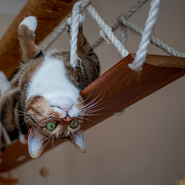 Cat or monkey? by Aleksandra Ewa Chmiel - Animals - Cats Playing ( cat, playing cat, cat tree )