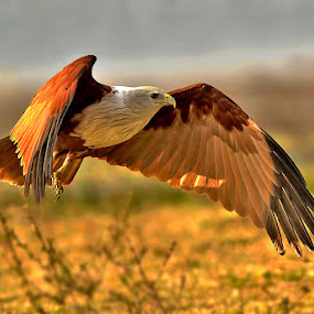 BRAHMINY KITE by Subramanniyan Mani - Animals Birds