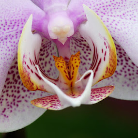 White & Purple Orchid Close-up by Josh Mayes - Nature Up Close Flowers - 2011-2013 ( purple, orchid, white, yellow, close-up )