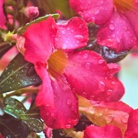 cactus rose by Teresa Wooles - Flowers Single Flower ( red, bloom, cactus, rose, buds, flower )
