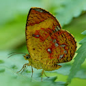 Callies Moth or Butterfly Moth