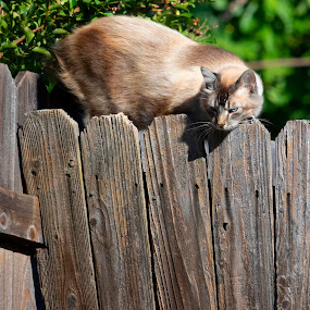 Cat on Fence by Karoner Gaming - Animals - Cats Playing ( cat, looking, fence, down, scared )