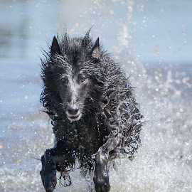 Summer Fun by Janet Delight - Animals - Dogs Running ( water, belgian shepherd dog groenendael, dog running, black dog, dog swimming, swim, dog,  )