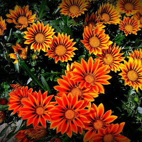 flowers by Vygintas Domanskis - Flowers Flower Gardens ( orange, green, summer, yellow, flowers, garden,  )