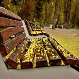 Sparkling yellow stars.. by Marton Rakhel - City,  Street & Park  City Parks ( park, petals, spring, flower, banch )
