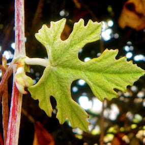 Grape Leaf by Pam Jones - Nature Up Close Leaves & Grasses