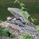 Plain-bellied Water Snake