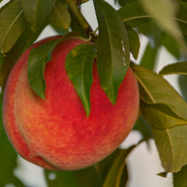 what'a peach! by Jackie Eatinger - Nature Up Close Gardens & Produce (  )