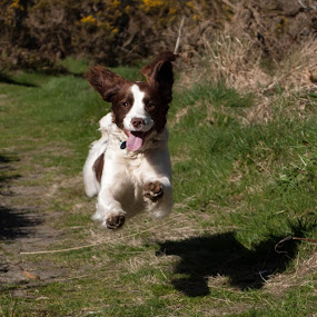 Limited Edition Hover dog. by Hannah Rugg - Animals - Dogs Running