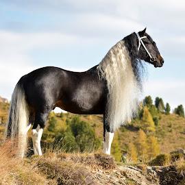The Great Johannes by Maja Lesar - Animals Horses ( stallion, mountains, equine, nature, star, beauty, nikon, austria, barockpinto )