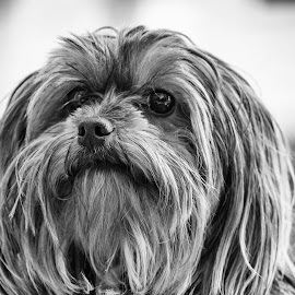 Chanel / BW by Sergio Yorick - Animals - Dogs Portraits ( yorkshire, black and white, dog, close up, portrait,  )
