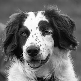 Lovely in Mono by Chrissie Barrow - Black & White Animals ( monochrome, black and white, pet, spaniel cross, fur, ears, dog, mono, nose, portrait, eyes, animal )