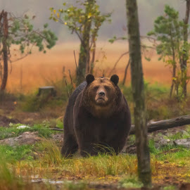 Brown bear in fall by Jens Andre Mehammer Birkeland - Animals Other ( bear, autumn, fall, wildlife, finland, brown bear )