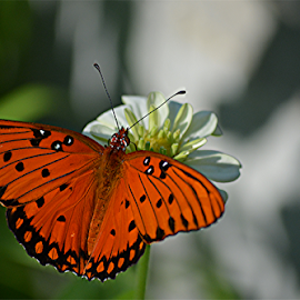 Fritillary by Raymond Earl Eckert - Animals Insects & Spiders ( fritillary; orange; garden; zinnia; flower )