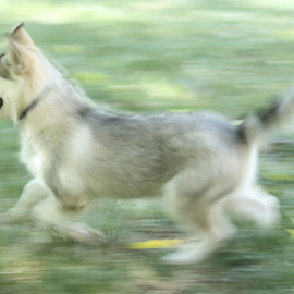 Atticus Blue Running by Monica Hayden-Carroll - Animals - Dogs Running ( puppies, malamute )