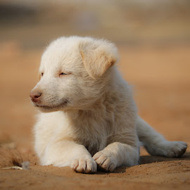 white puppy by Lakshya Sharma - Animals - Dogs Puppies (  )