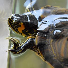 by Maria Gerolymatou - Animals Amphibians ( terrapin, pet, aquarium, water turtle, turtle )
