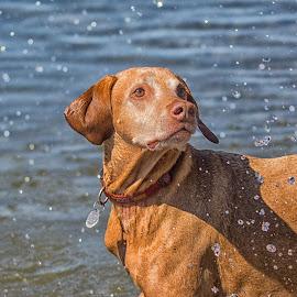 Throw the Stick by Joe Chowaniec - Animals - Dogs Portraits ( water, splash, pet, vizsla, dog, portrait )